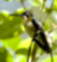 Picture of a white-bellied mountain gem hummingbird in Costa Rica as a fine art nature print for the wall of your home or office.