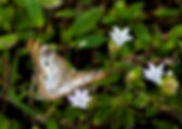 Picture of a white peacock butterfly in E.G. Simmons Park in Ruskin , Florida as a fine art nature print for the wall of your home or office.