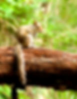 Picture of an eastern gray squirrel on a log in Tampa, Florida's Lettuce Lake Park as a fine art nature print for the wall of your home or office.