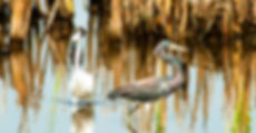 Picture of a snowy egret and a tri-colored heron circling each other in a small pond as a fine art nature print for the wall of your home or office.