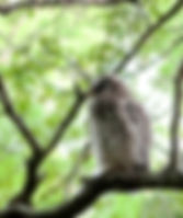 Picture of a fledgling barred owl by its nest in Tampa, Florida's Lettuce Lake Park as a fine art nature print for the wall of your home or office.
