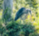 Picture of a great blue heron scratching its head on Florida's lower Withlacoochee River as a fine art nature print for the wall of your home or office.