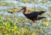 A glossy ibis as a fine art nature print for the walls of your home or office.