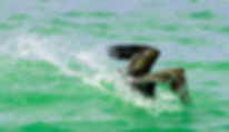 Picture of a brown pelican diving around Manatee County, Florida's Anna Maria Island City Pier as a fine art nature print for the wall of your home or office.