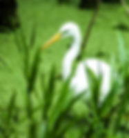 Picture of a great white egret in Tampa, Florida's Lettuce Lake Park as a fine art nature print for the wall of you home or office.