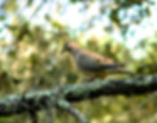 Picture of a mourning dove on a branch in Tampa, Florida's Lettuce Lake Park as a fine art nature print for the wall of your home or office.