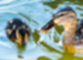 Picture of a mallard hen and duckling swimming in Lakeland, Florida's Lake Morton as a fine art nature print for the wall of your home or office.