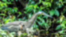 Picture of a bare-throated tiger heron in Costa Rica's Parque Nacional Tortuguero as a fine art nature print for the wall of your home or office.