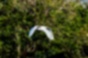 Picture of a great white egret searching for nesting material, for the wall of your home or office, as a fine art print.