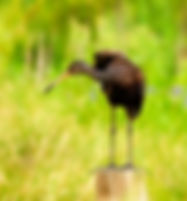 Picture of a limpkin on a post in Lakeland, Florida's Circle B Bar Preserve as a fine art nature print for the wall of your home or office.