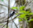 Picture of a hairy woodpecker in Tampa, Florida's Lettuce Lake Park as a fine art nature print for the wall of your home or office.