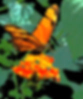 Picture of a julia longwing butterfly on a lantana flower in Costa Rica as a fine art nature print for the wall of your home or office.