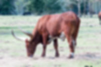Picture of a longhorn steer for your home or office, as a fine art print.