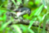 Picture of a tufted titmouse sitting on a branch in Tampa, Florida's Lettuce Lake Park as a fine art nature print for the walls of your home or office.