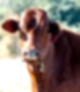Portrait of a cow as a fine art print for the wall of your home or office.