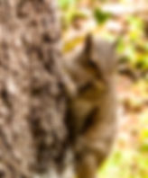 Picture of an eastern grey squirrel climbins the trunk of a tree in Tampa, Florida's Lettuce Lake Park as a fine art nature print for the walls of your home or office.
