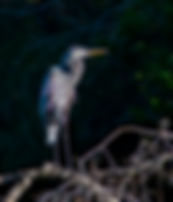 Picture of a great blue heron on a fallen tree in the Hillsborough River in Tampa, Florida as a fine art nature print for the wall of your home or office.