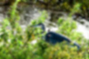 A great blue heron as a fine art nature print for the walls of your home or offce.