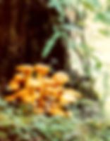 Picture of yellow mushrooms growing at the base of a tree in the Great Smoky Mountains as a fine art nature print for the wall of your home or office.
