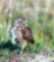 A burrowing owl as a fne art nature print for the walls of your home of office.