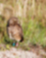 A burrowing owl as a fine art nature print fo the walls of your home or office.