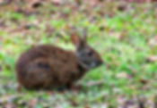 A marsh rabbit as a fine art nature print for the walls of your home or office.