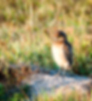 Picture of a young burrowing owl standing in front of its burrow in Cape Coral, Florida as a fine art nature print for the walls of your home or office.