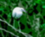 Little blue heron digital rt for the walls of you home or office.