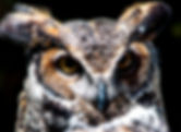 Picture of a great horned owl at the Audubon Raptor Center in Maitland, Florida as a fine art print for the wall of your home or office.