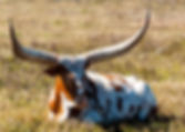 Picture of an ankole-watusi cow in a southern Hillsborough County, Florida pasture as a fine art print for the wall of your home or office.