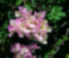 A pink bougainvilla as a fine art nature print for the walls of your home or office.