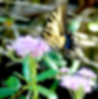 Picture of an eastern tiger swallowtail butterfly on a lilac flower in Upper Booker Creek Park as a fine art nature print for the wall of your home or office.