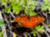 Picture of a gulf fritillary butterfly in Hillsborough County, Florida's E.G. Simmons Park as a fine art nature print for the wall of your home or office.