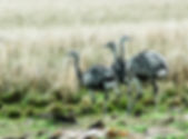 Picture of three rheas in Corrientes Province Argentina as a fine art nature print for the wall of your home or office.