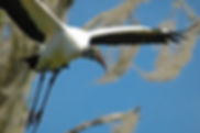 Picture of a wood stork taking flight in Tampa, Florida's Lettuce Lake Park as a fine art nature print for the wall of your home or office.