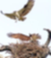 Picture of an osprey defending its nest from another osprey as a fine art nature print for the wall of your home or office.