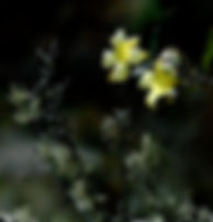 Picture of yellow wildflowers growing among lichen as a fine art nature print for the wall of your home or office.