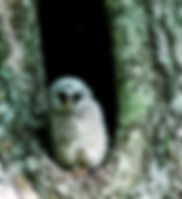 Picture of a fledgling barred owl in its nest in Tampa, Florida's Lettuce Lake Park as a fine art nature print for the wall of your home or office.
