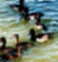Picture of ring-necked ducks at a feeding station in Lakeland, Florida's Lake Morton as a fine art nature print for the wall of your home or office.