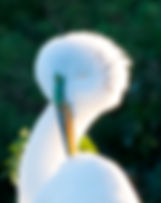 Picture of a great white egret preening itself as a fine art nature print for the wall of your home or office.
