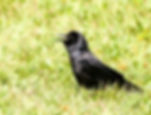 Picture of a fish crow on the shore of Lakeland, Florida's Lake Morton as a fine art nature print for the wall of your home or office.