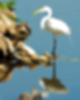 Picture of a great white egret in Tampa, Florida's Lettuce lake Park as a fine art nature print for the wall of your home or office.