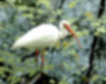 Picture of a white ibis wading in the duckweed in Tampa, Florida's Lettuce Lake Park as a fine art nature print for the wall of your home or office.
