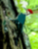 Digital art picture of pileated woodpecker as a fine art print for the wall of your home or office.
