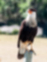 Picture of a southern crested caracara on fence post near the east shore of Lake Kissimmee, FL as a fine art nature print for the wall of your home or office.