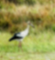 Picture of a maguari stork in a pasture in Argentina as a fine art nature print for the wall of your home or office.