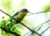 Picture of a female tanager in Argentina's Parque Nacional Iguazu as a fine art nature print for the wall of your home or office.