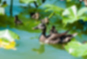 Picture of a mallard hen with ducklings at Lakeland, Florida's Lake Morton as a fine art nature print for the wall of your home or office.