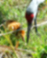 Picture of a sandhill crane feeding a grub to one of its chicks in Riverview, Florida as a fine art nature print for the wall of your home or office.