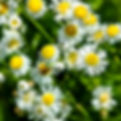 Picture of oakleaf fleabane flowers in Florida's Withlacoochee State Forest as a fine art nature print for the wall of your home or office.